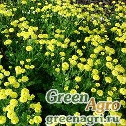 """Пиретрум девичий (Tanacetum parthenium) """"Amero"""" (yellow) pelleted 1000 шт."""