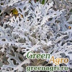 "Цинерария приморская (Cineraria maritima) ""Silver Lace"" 10 гр."