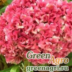 "Целозия гребенчатая (Celosia cristata) ""Jessica"" (pink) 1 гр."