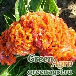 "Целозия гребенчатая (Celosia cristata) ""Jessica"" (orange) 1 гр."