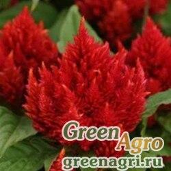 "Целозия метельчатая (Celosia plumosa) ""Liliput"" (scarlet) 25 гр."