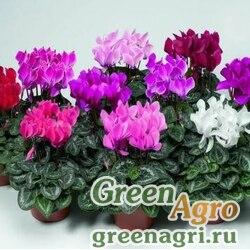 """Цикламен персидский (Cyclamen persicum) """"Advantage F2"""" (scarlet shades) raw 100 шт."""