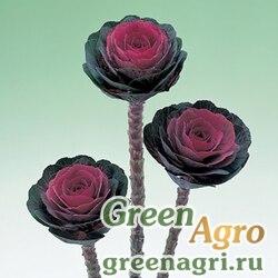 "Капуста декоративная (Brassica oleracea) ""Black Leaf F1"" (black) raw 1000 шт."