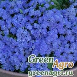 Агератум Голубая норка  (упак-50 гр.)