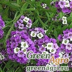 Алиссум Фиолетовая королева  (упак-50 гр.)