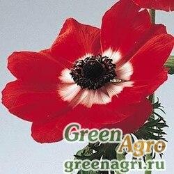 """Анемона (Ветреница) корончатая (Anemone coronaria) """"Mona Lisa"""" (red bicolor) raw 100 шт."""