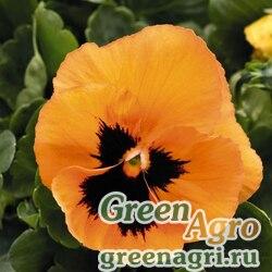 "Виола виттрока (Viola wittrockiana) ""Inspire Plus F1"" (orange with blotch) raw 1000 шт."