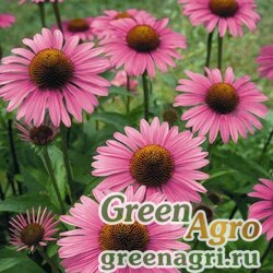 """Семена Эхинацея пурпурная (Echinacea purpurea) """"Primadonna"""" (deep rose) apex 1000 шт."""