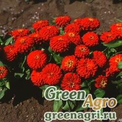 """Цинния изящная (Zinnia elegans) """"Topolino"""" (scarlet) raw 1 гр."""