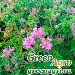 Пеларгония головчатая (Pelargonium capitatum) 100 шт.