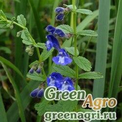 Шлемник щетинковый (Scutellaria strigillosa) 1 гр.
