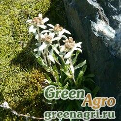 Семена Эдельвейс бледно-желтый (Leontopodium ochroleucum) 0.7 гр.