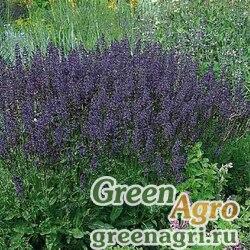 """Шалфей превосходный (Salvia superba) """"Queen"""" (dwarf blue) raw 1000 шт."""