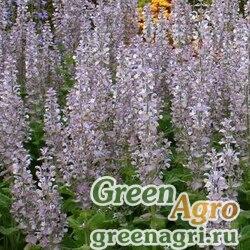 Шалфей мускатный (Salvia sclarea) 100 гр.