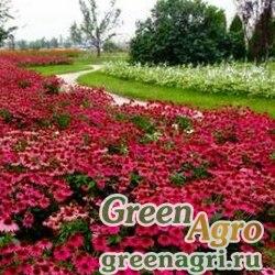 "Семена Эхинацея пурпурная (Echinacea purpurea) ""PowWow"" (wild berry) raw 100 шт."