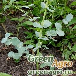 "Эвкалипт Гунна (Eucalyptus gunnii) ""Silverdrop"" (silvery gray leaf) raw 1000 шт."