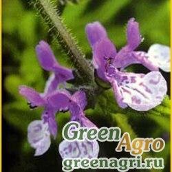 Чистец крупнозубчатый (Stachys grandidentata) 1.4 гр.