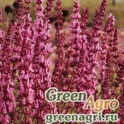 """Шалфей превосходный (Salvia superba) """"Queen"""" (rose) raw 1000 шт."""
