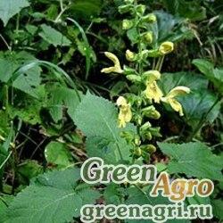 Шалфей клейкий (Salvia glutinosa) 5 гр.