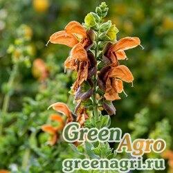 Шалфей африканский желтый (Salvia africana-lutea) raw 500 шт.