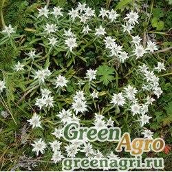 Семена Эдельвейс двухцветный (Leontopodium discolor) 0.4 гр.