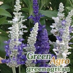 "Шалфей мучнистый (Salvia farinacea) ""Seascape"" (Mix) elitech quality 1000 шт."