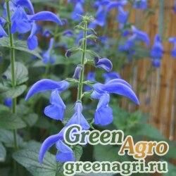 "Шалфей отклоненный (Salvia patens) ""Patio"" (deep blue) raw 100 шт."