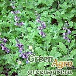 Шалфей лекарственный (Salvia officinalis) 30 гр.