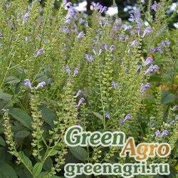 Шлемник седой (Scutellaria incana) 0.3 гр.