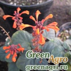 Шлемник изящный (Scutellaria speciosa) 0,5 гр.