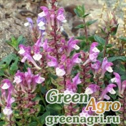 "Шлемник альпийский (Scutellaria alpina) ""Arcobaleno"" 0.6 гр."