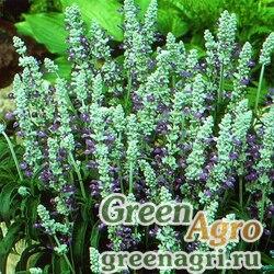 "Шалфей мучнистый (Salvia farinacea) ""Strata"" (blue) elitech quality 1000 шт."