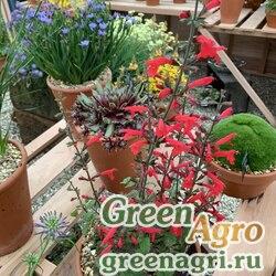 "Шалфей Ремера (Salvia romeriana) ""Arriba"" (red) raw Произв. 1000 шт."