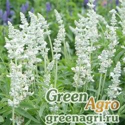 """Шалфей мучнистый (Salvia farinacea) """"Victoria"""" (white) elitech quality 1000 шт."""