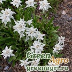 Семена Эдельвейс альпийский (Leontopodium alpinum) 0.7 гр.