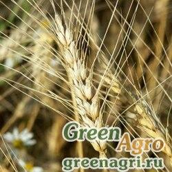 Пшеница 0,8 кг Зеленый уголок  (х10шт)