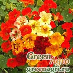 """Настурция большая (Tropaeolum majus) """"Top flowering Jewel"""" (formula mixed) 100 гр."""