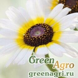 "Хризантема килеватая (Chrysanthemum carinatum) ""Polar star"" (white with ring) 50 г"