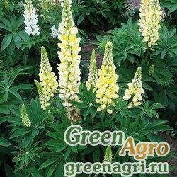 "Люпин многолистный (Lupinus polyphyllus) ""Lupini"" (yellow shades) apex 1000 шт."