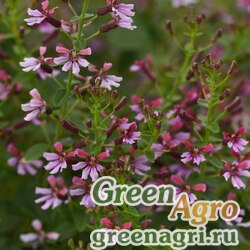 "Куфея огненно-красная (Cuphea ignea) ""Ramosissima"" (pink shimmer) pelleted 100 шт."