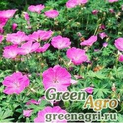 Герань кроваво-красная (Geranium sanguineum) 0.5 г