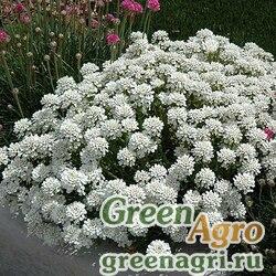 """Иберис вечнозеленый (Iberis sempervirens) """"Snowflake"""" (white) raw 250 шт."""
