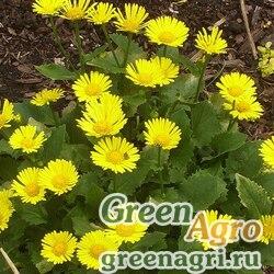 "Дороникум восточный (Doronicum orientale) ""Little Leo"" (yellow) raw 250 шт."