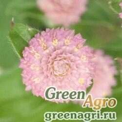 """Гомфрена шаровидная (Gomphrena globosa) """"Las Vegas"""" (pink) raw 250 шт."""