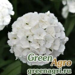 """Гвоздика турецкая (Dianthus barbatus) """"Sweet F1"""" (white) pelleted 100 шт."""