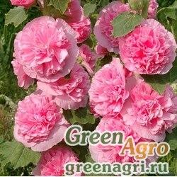 "Мальва (Штокроза) розовая (Alcea rosea annua) ""Spring Celebrities"" (lilac) raw 100 шт."