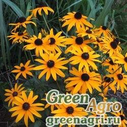 """Рудбекия блестящая (Rudbeckia fulgida) """"Goldsturm"""" (golden yellow) apex 250 шт."""