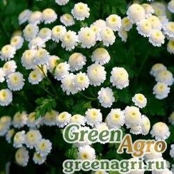 """Пиретрум девичий (Tanacetum parthenium) """"Virgo"""" (white) raw 100 шт."""