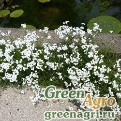 """Тысячелистник птармика (Achillea ptarmica) """"Noblessa"""" (white) raw 250 шт."""