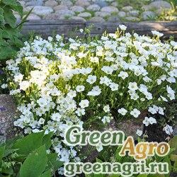 """Песчанка горная (Arenaria montana) """"Bizzard Compact"""" (white) raw 100 шт."""